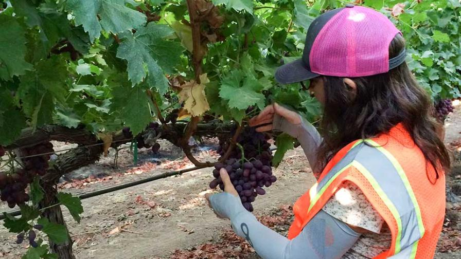scouting for vine mealybug