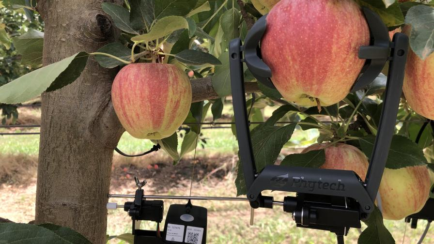 Phytech moisture sensors on apple tree