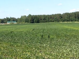 farm field that is yellowing and appears to have plant health issues